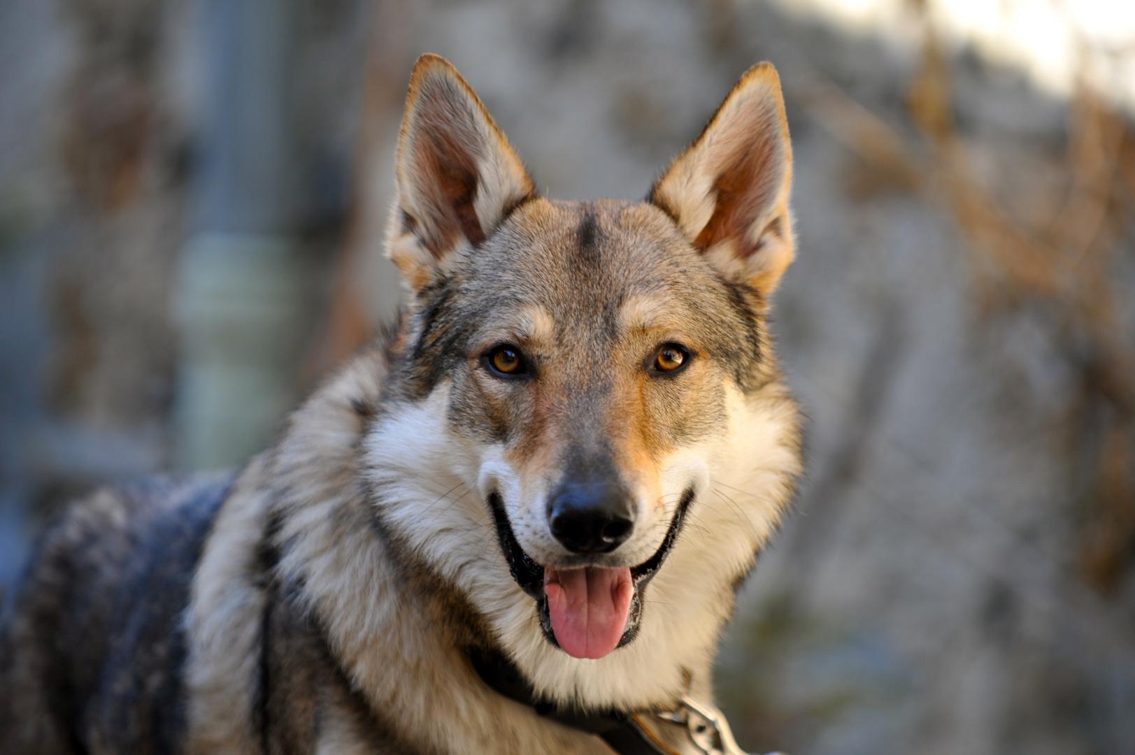 loup en captivité