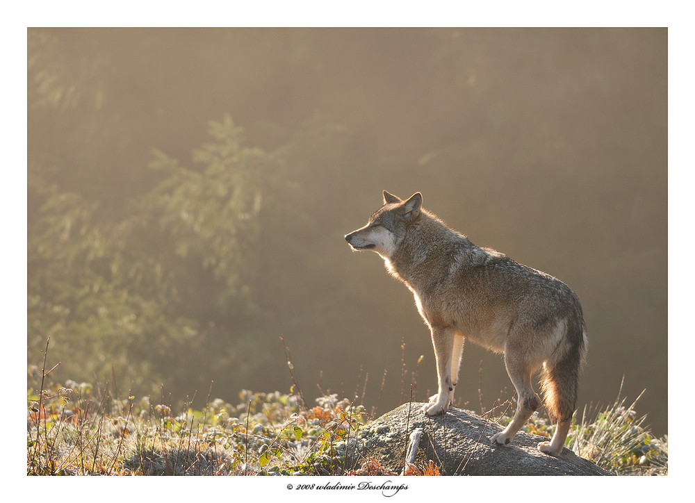 Loup en contre jour