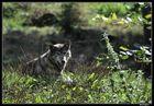 Loup européen fatigué