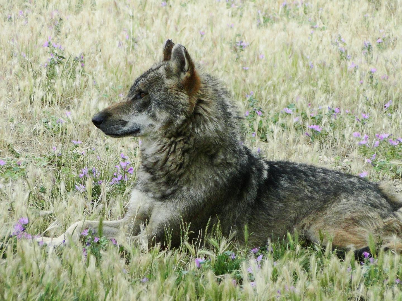 Loup gris