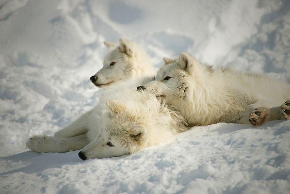 Loups blancs de l'arctique