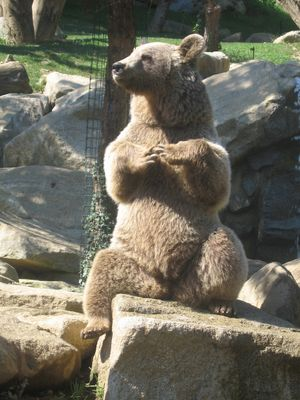 L'ours des Pyrénées