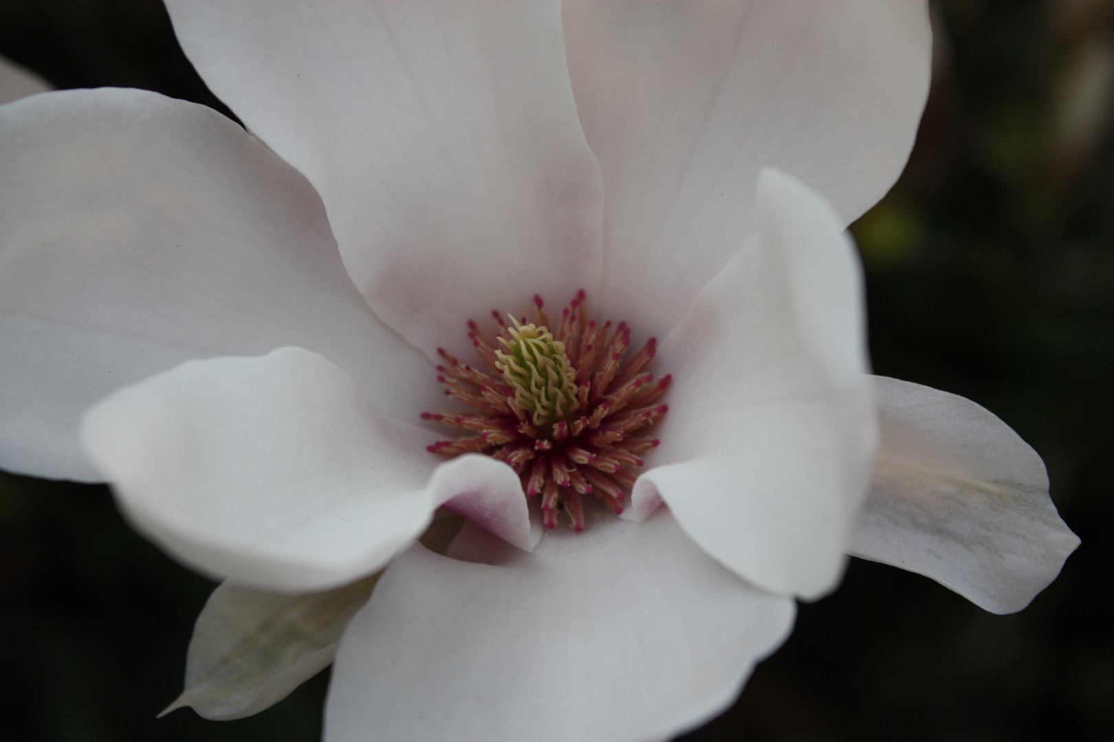 lovely Magnolia