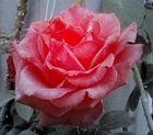 Luce rosa