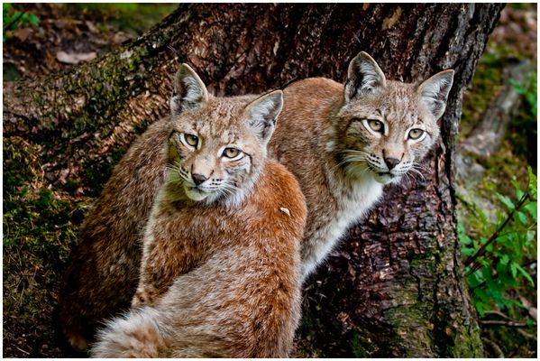 Luchs duo