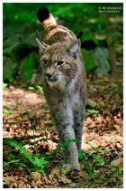 - Luchs - ( Felis iynx ) Wildpark Edersee