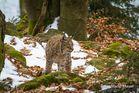 Luchs im Nationalpark Bayrischer Wald