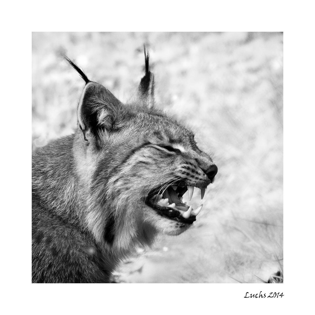 Luchs im Tiergarten Weilburg