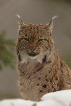 Luchs im Tierpark Goldau No. 11