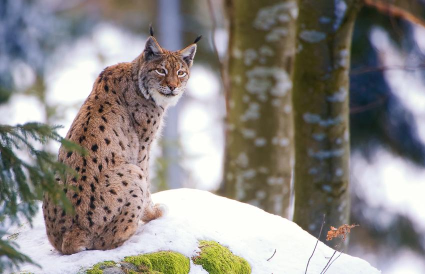 Luchs - NP Bayerischer Wald 2