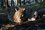 Luchse in der Abendämmerung [ Lynx lynx ]