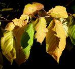 luci e ombre tra le foglie di castagno
