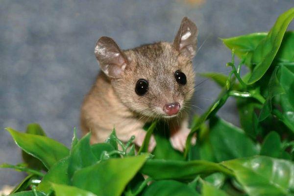 Lucius Opossum