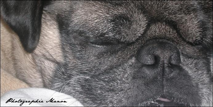 Lucky, Carlin [Pug]