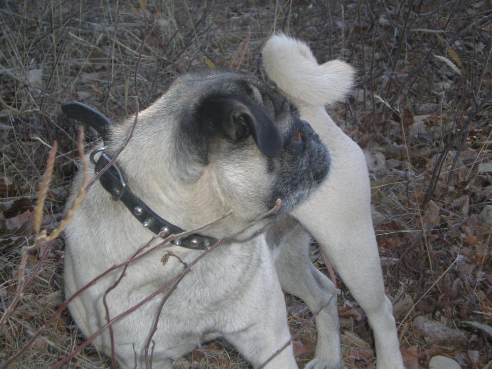 Lucky, pug mâle de 6 ans
