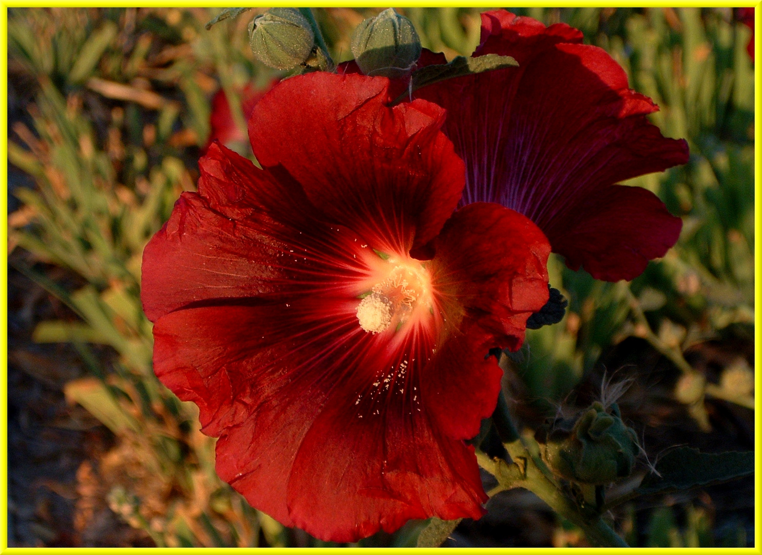 Luinda flor