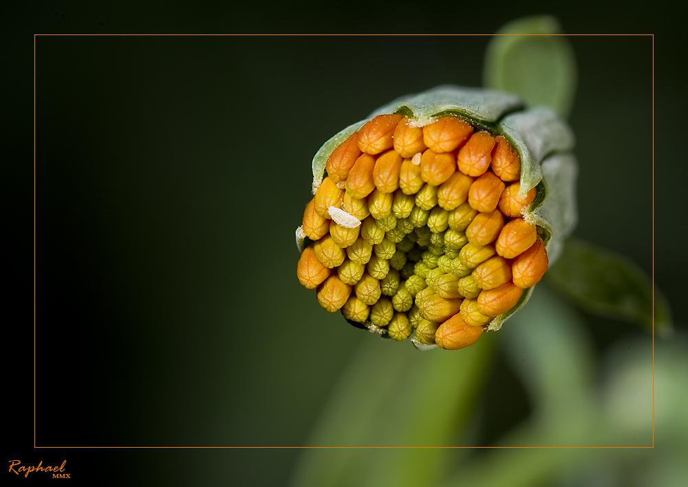 Luisenpark MA - Kaktusblüte 2