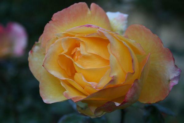 l'ultima rosa del mio giardino
