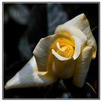 Lumière de Rose
