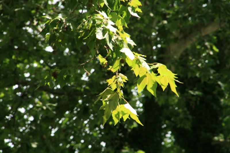 Lumière et feuilles d'érable