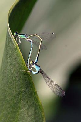 L'union des libellules