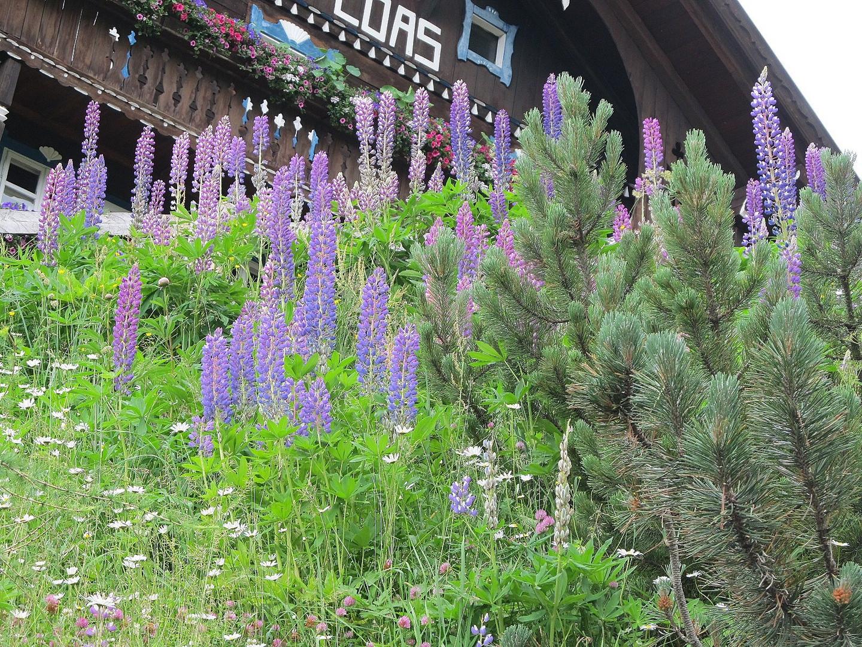 Lupinen beim Alpengasthof Loas