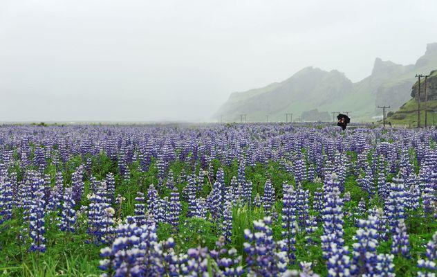 Lupinenblüte in Island