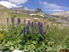 Lupins dos à la montagne Meije (les écrins) au Col du Lautaret