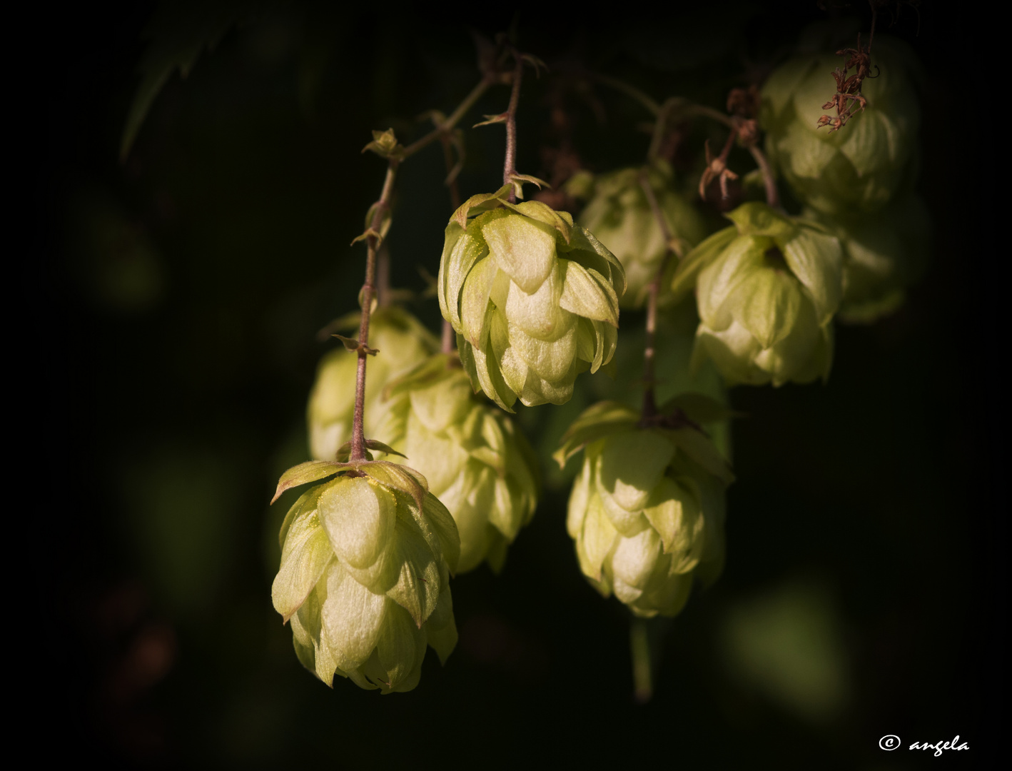 Lúpulo (humulus lupulus)