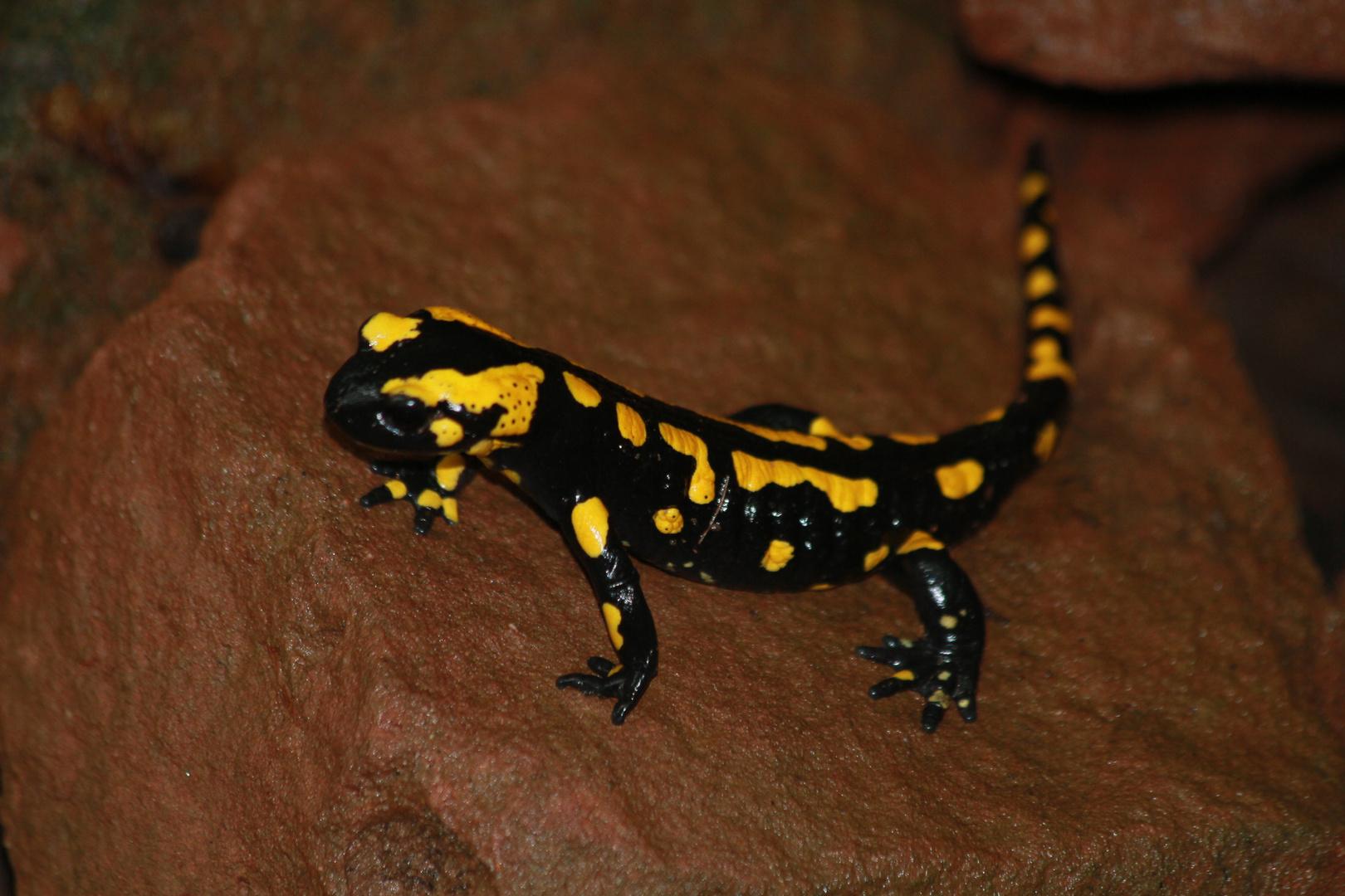 Lurchi der Salamander
