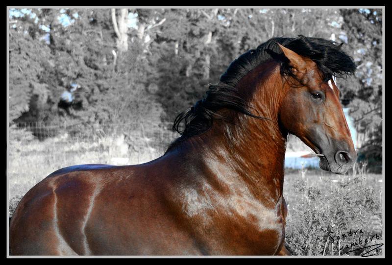Lusitanian stallion