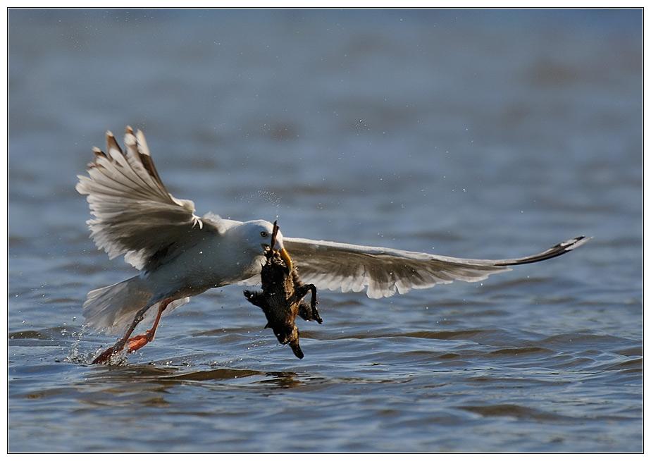 Lust auf Ente... (III)