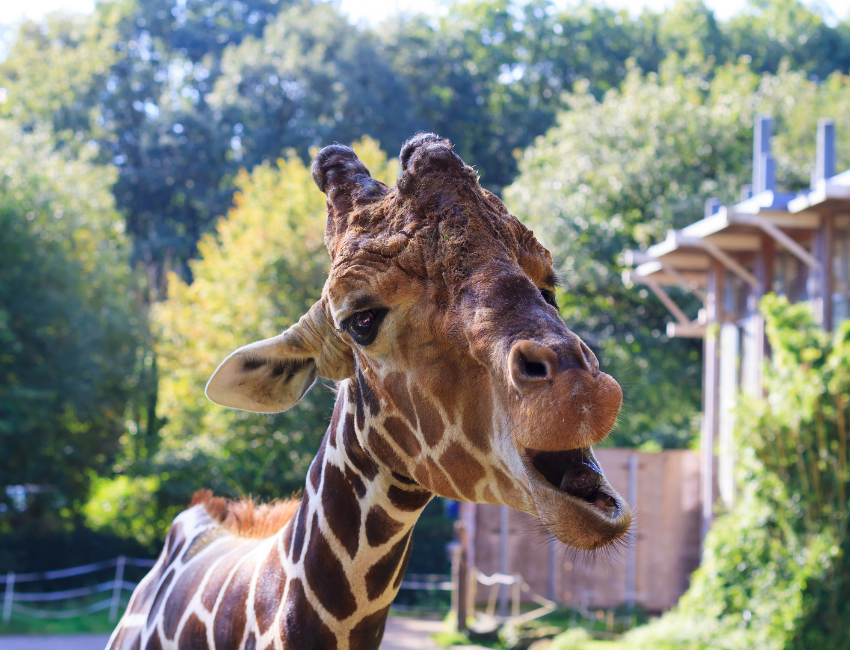 lustige giraffe