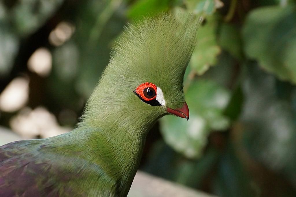 Lustiger Vogel - Helmturako