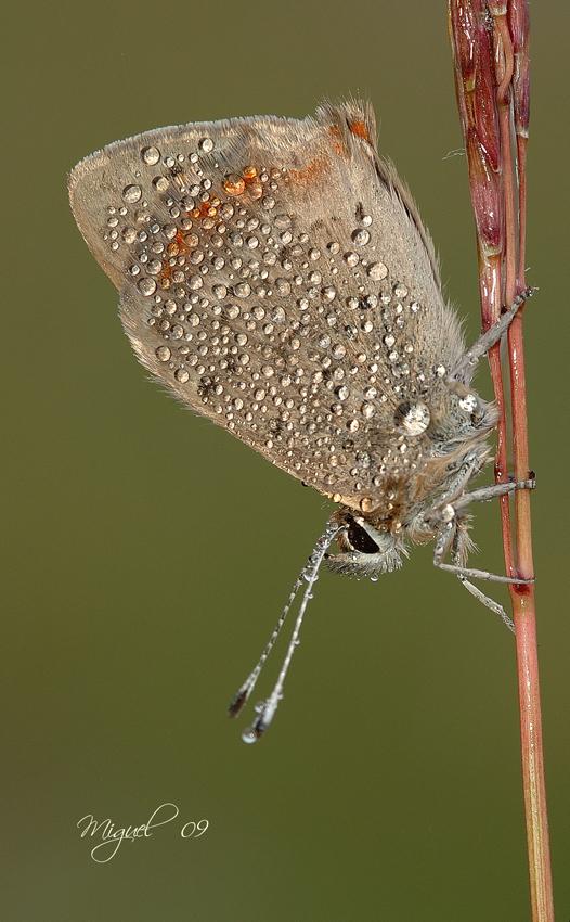 Lycaena phaleas