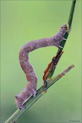 Lycia hirtaria (larva)