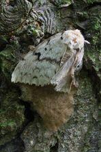Lymantria dispar II - Schwammspinner