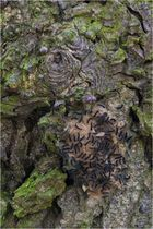 Lymantria dispar III - Schwammspinner