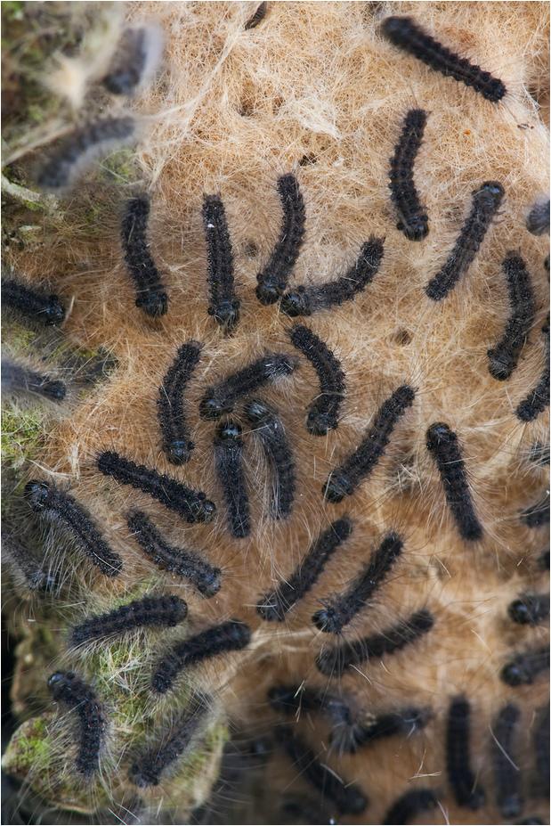 Lymantria dispar IV - Schwammspinner - Ausschnitt...