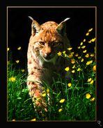 Lynx ...
