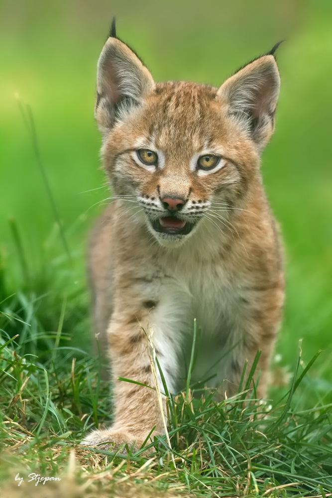 Lynx-kitten