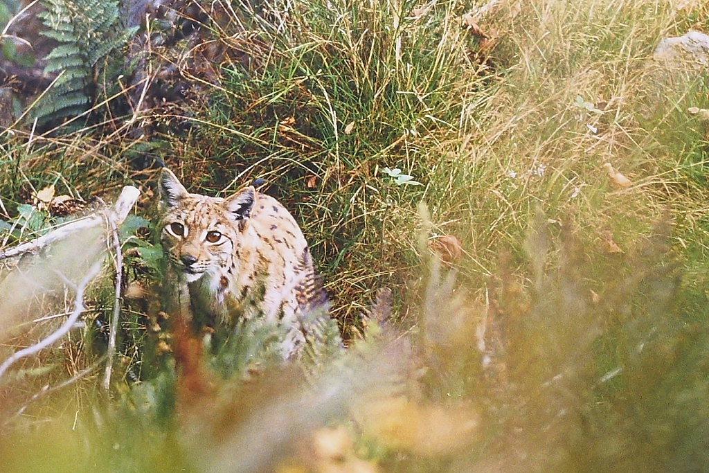 Lynx Vosgiens