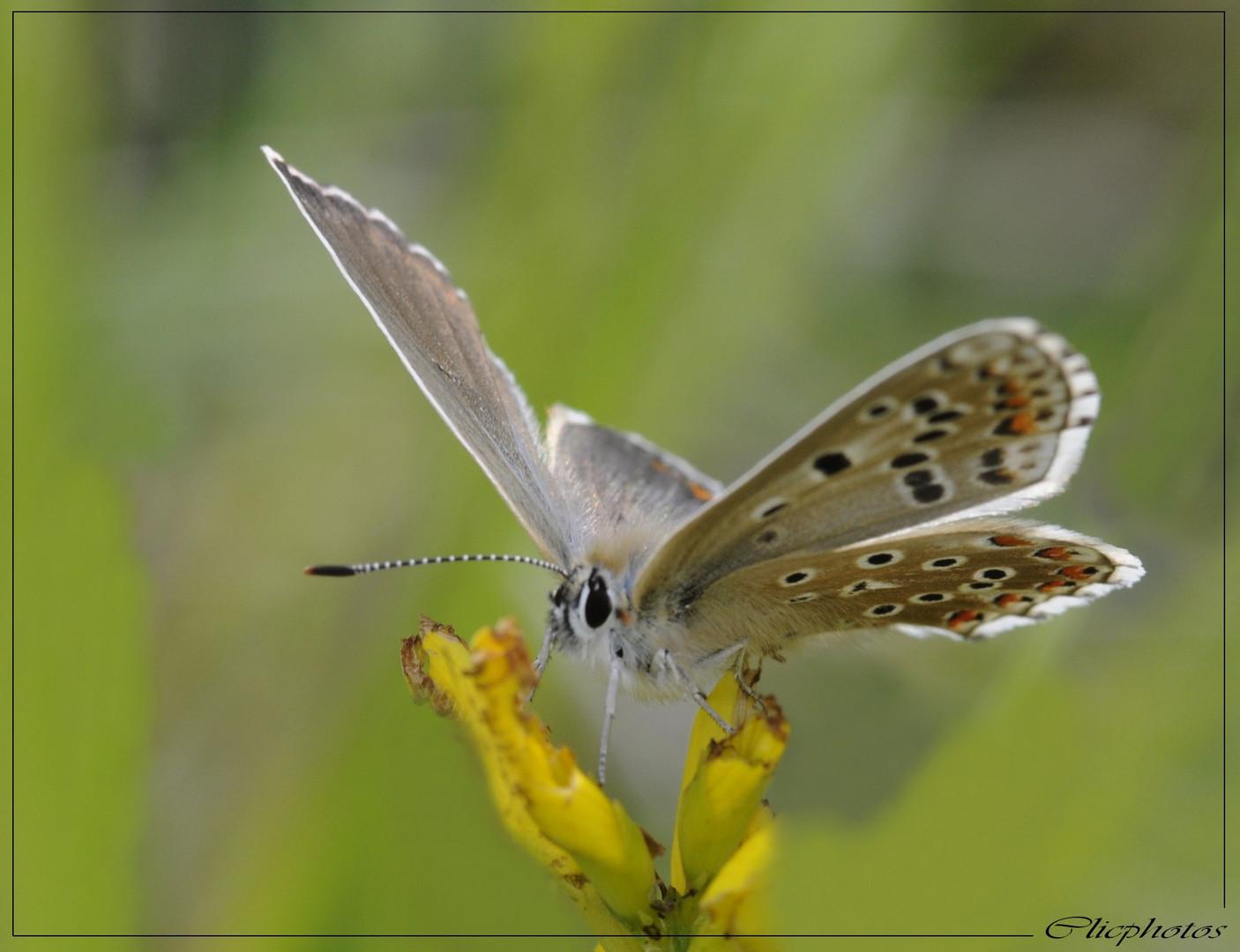 lysandra bellargus