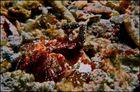 Lysiosquillina sp. - Fangschreckenkrebs/Speerer