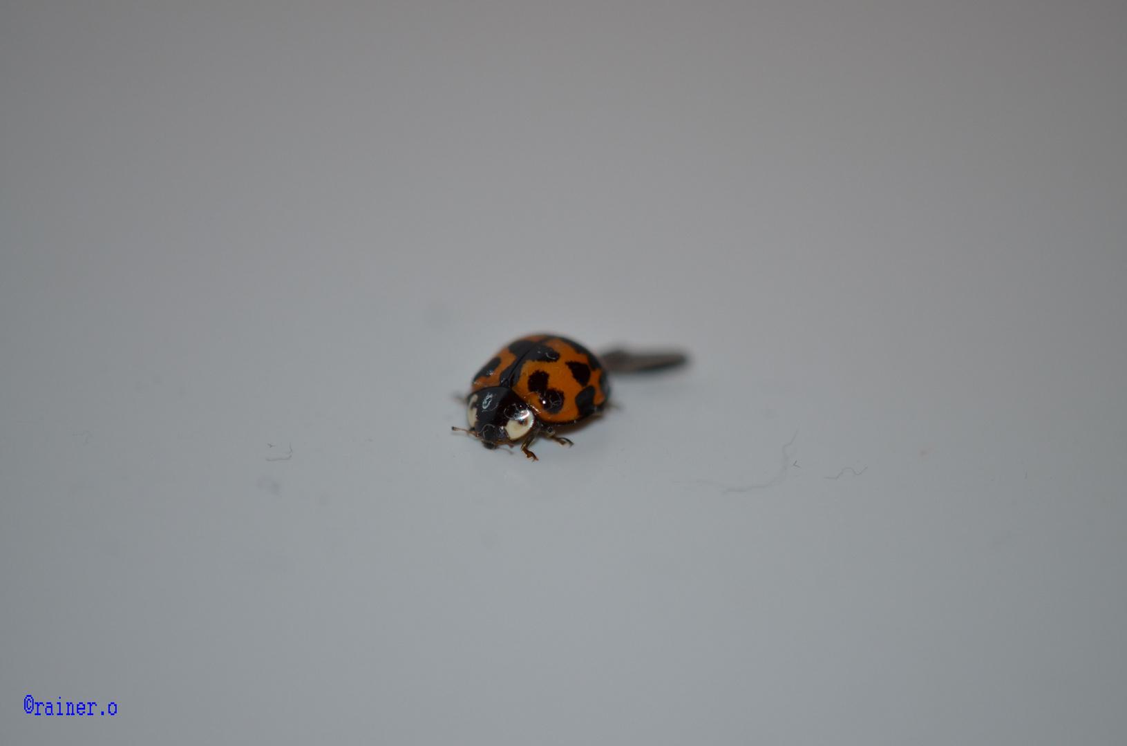 m-käfer