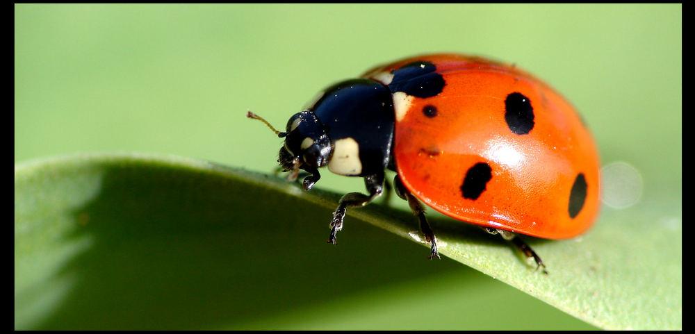 M- Käfer