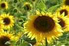 Ma fleur de soleil