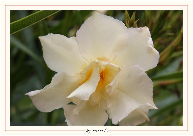 ma première fleur de laurier