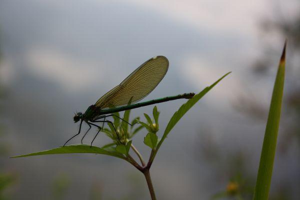 Ma première libellule