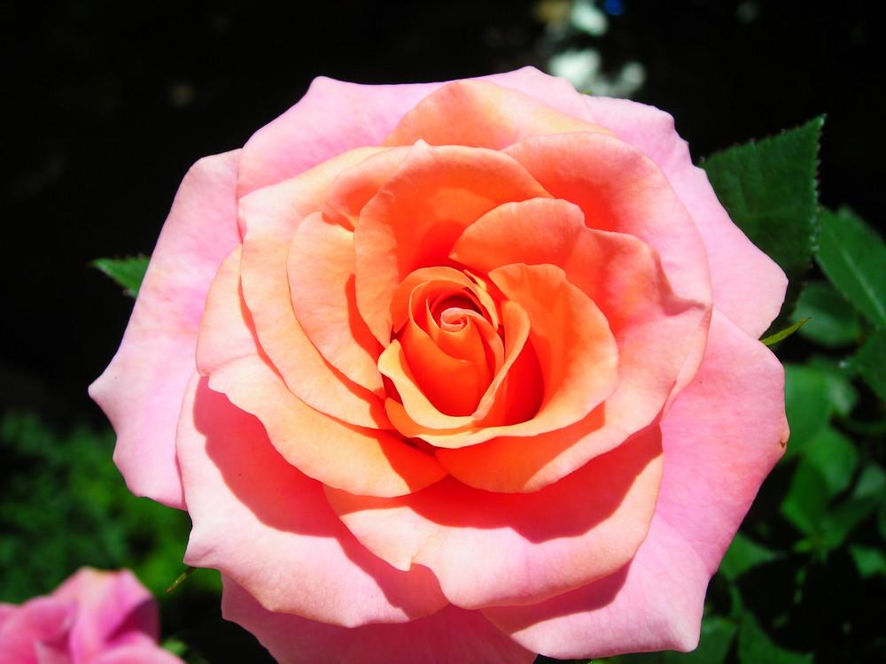 Ma rose orangée !